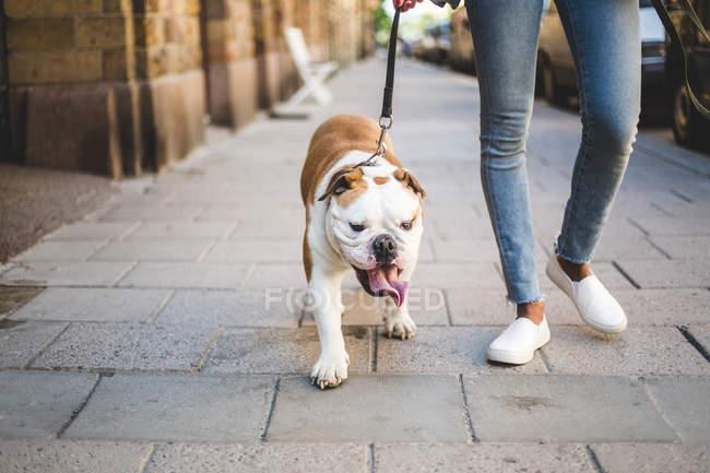 Faible section de femme marchant avec bulldog anglais sur trottoir — Photo de stock