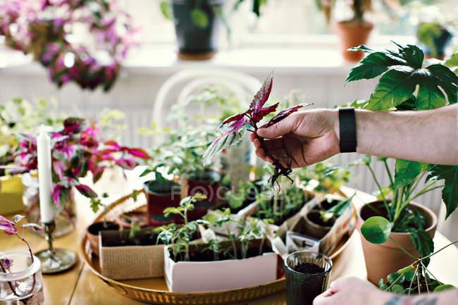 Обрізаний рука чоловічий еколог проведення розсади в таблиці в кімнаті — стокове фото