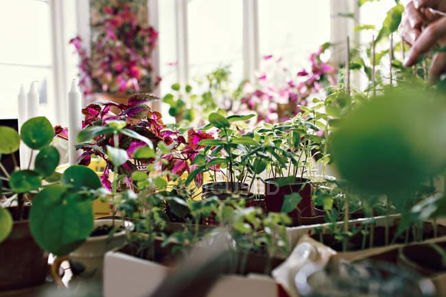 Piante fresche sul tavolo in camera a casa — Foto stock