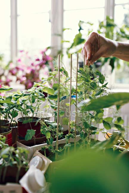 Рука жіночого еколога позиціонування палички рослинами в домашніх умовах — стокове фото