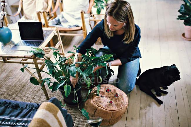 Opinião de ângulo elevado a mulher que ajoelha-se pela planta do potting do Pug no quarto em casa — Fotografia de Stock