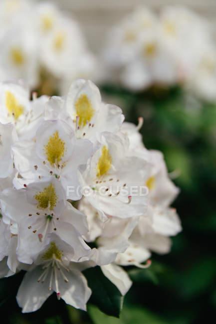 Рододендроны цветут цветы снимок крупным планом — стоковое фото