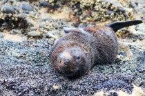 Nuova Zelanda, Isola del Sud, Tasmania, Puponga, Golden Bay, Cape Farewell, Wharariki Beach con foche — Foto stock