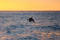 New Zealand, South Island, Canterbury, South Bay, Kaikoura, Dolphin Tour, Dolphin Encounter Tour at Sunrise, Dolphin jumping from sea at sunset — Stock Photo