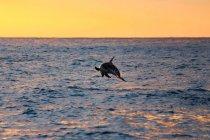 Nueva Zelanda, Isla Sur, Canterbury, South Bay, Kaikoura, Tour delfines, Dolphin Encounter Tour al amanecer, delfines saltando del mar al atardecer - foto de stock