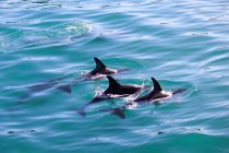 New Zealand, South Island, Canterbury, South Bay, Kaikoura, Dolphins in turquoise water — Stock Photo