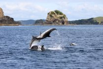 New Zealand, North Island, Northland, Pahia, Bay of Islands, Dolphins by the coast — Stock Photo