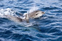 New Zealand, North Island, Northland, Pahia, Bay of Islands, Dolphins swimming in sea — Stock Photo