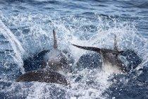 New Zealand, North Island, Northland, Pahia, Bay of Islands, Dolphins splashing sea water — Stock Photo
