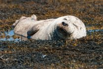 Regno Unito, Scozia, Highlands, Isola di Skye, foca sdraiata sulla baia delle alghe — Foto stock