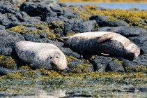 Regno Unito, Scozia, Highlands, Isola di Skye, foche, Sea Seers on rocky show with algae — Foto stock