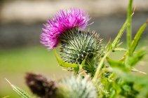 Nahaufnahme von Distel Blume mit Stacheln — Stockfoto