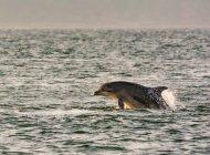 Сполучене Королівство Шотландія нагір'я, Форт островах, Chanonry точки, Black Isle, Дельфін Bottlenose на захід сонця море — стокове фото