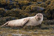 Regno Unito, Scozia, Highlands, Isola di Skye, sigillo sulla baia dell'isola con pietre ricoperte di alghe — Foto stock