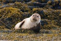 Regno Unito, Scozia, Highlands, Isola di Skye, sigillo sull'isola di Skye vicino al castello di Dunvegan — Foto stock