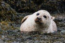 Regno Unito, Scozia, Highlands, Isola di Skye, sigillo sulla baia dell'isola con pietre ricoperte di alghe, primo piano — Foto stock