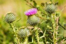 Закрыть шипами цветок чертополоха — стоковое фото