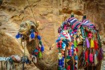 Giordania, Ma'an Gouvernement, Petra District, Cammello splendidamente decorato — Foto stock