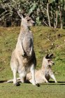 Australien, Tasmanien, Tasmanian Devil Conservation Park, Känguru — Stockfoto