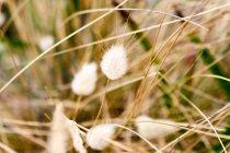 Australia, Tasmania, hierba de lana - foto de stock
