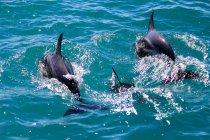 Nouvelle-Zélande, Île du Sud, Canterbury, South Bay, Kaikoura, Dauphins dans l'eau de mer turquoise — Photo de stock