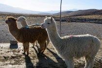 Перу, Арекипа, Ashua, альпаки на ферме, вид на горы на фоне — стоковое фото