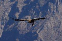 Перу, Арекіпа, Caylloma, птах під час польоту в Каньйон Колка — стокове фото