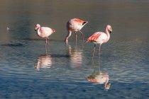 Bolivia, Flamingo birds at Laguna Canapa — Stock Photo
