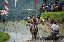 Кабул Buleleng, Балі, Індонезія - 17 серпня 2015: оранка з буйволів шоу. Селянська ввести з оформлені буйволи — стокове фото