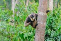 Barba blanca Gibbornean gibón (Hylobates albibis) sobre el tronco de árbol en bosque verde - foto de stock