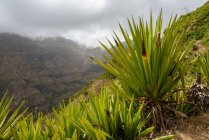 Green yucca bushes on mountains background, Sao Miguel, Cape Verde — Stock Photo