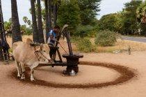 Myanmar, região de Mandalay, Taungtha, homem que trabalha na produção de açúcar de palma e licor — Fotografia de Stock