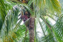 Indonesia, Maluku Utara, Kabupaten Pulau Morotai, climber on palm tree harvesting coconuts — Stock Photo