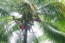 Indonésia, Maluku Utara, Cabul Pulau Morotai, nativo na colheita de coco em palmeiras de Morotai no norte de Molikken — Fotografia de Stock