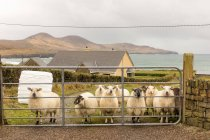 Ireland, Kerry, County Kerry, Ring of Kerry, sheep herd on a green meadow by the sea behind gate — Stock Photo