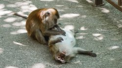 Malaysia, Kedah, Langkawi, One monkey launches another in mangrove forest Kilim Geoforest park — Stock Photo