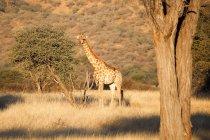 Намібія, Okapuka ранчо, Safari, жирафа в природному середовищі існування — стокове фото