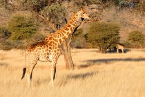 Namibia, Okapuka Ranch, Safari, zwei Giraffen in der Wildnis — Stockfoto