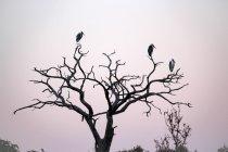 Botswana, Chobe National Park, birds on branches at dawn on Chobe River — Stock Photo