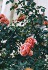 Крупный план цветущих розовых кустов с зелеными листьями — стоковое фото