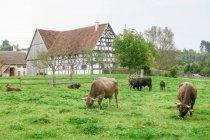 Германия, Бавария, Кронбург, коровы едят траву на пастбище на старой ферме — стоковое фото