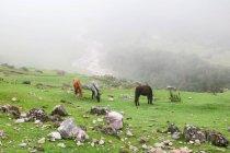 Perù, Cusco, Lares, cavalli al pascolo su prato il Lares trekking a Machu Picchu — Foto stock