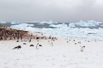 Icebergs and large flock of penguins on Deception Island, Antarctica — Stock Photo