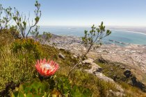 South Africa, Western Cape, Cape Town, Devils Peak hike view of Cape Town, South Africa national flower Protea in the foreground — Stock Photo