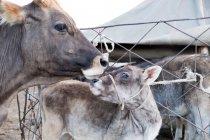 Кыргызстан, Нарынская область, Кочкорский район, корова и теленок возле забора — стоковое фото