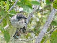 Ecuador, Islas Gal?pagos, Galapagos, bird in the tree — Stock Photo