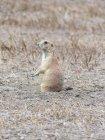 États-Unis, Dakota du Sud, Badlands, chien de prairie sur terrain dans domaine — Photo de stock