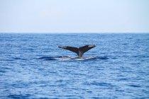 Fluke der Wale im Meer, Kailua-Kona, Hawaii, Usa — Stockfoto