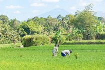 Индонезия, Бали, Бадунг, Джатилуви, люди, работающие на рисовых террасах — стоковое фото