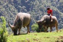 Вьетнам, два красивый буйволы, друг за другом, ОС обратно сидя мальчик — стоковое фото